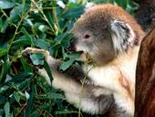 koala029_rid